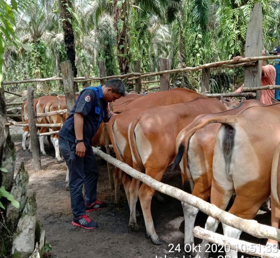 Tingkatkan Populasi Hewan Ternak, Disbunakkeswan Kampar Terus Bekerja Keras Untuk Hasil IB